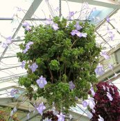 צילום: http://en.wikipedia.org/wiki/File:Streptocarpella_in_a_hanging_basket_-_at_Wellington_Botanic_Gardens,_New_Zealand.JPG