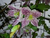 צילום: Clematis cirrhosa, Self-published work, Uploaded with UploadWizard