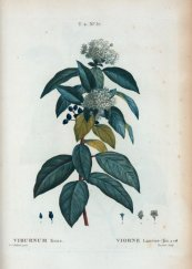 צילום: Adoxaceae botanical illustrations, Author died more than 100 years ago public domain images, CC-PD-Mark